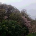 長沼公園桜
